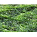 Alga espirulina en polvo » 125 g
