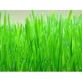 Hierba de trigo (Wheatgrass) » 125 g